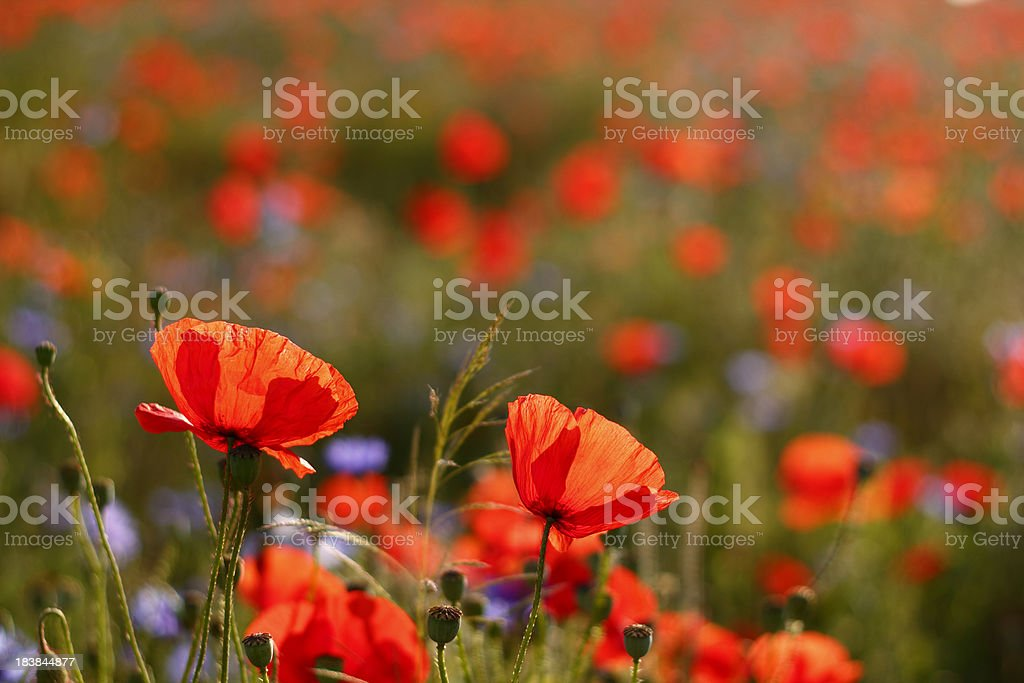 Poppies royalty-free stock photo