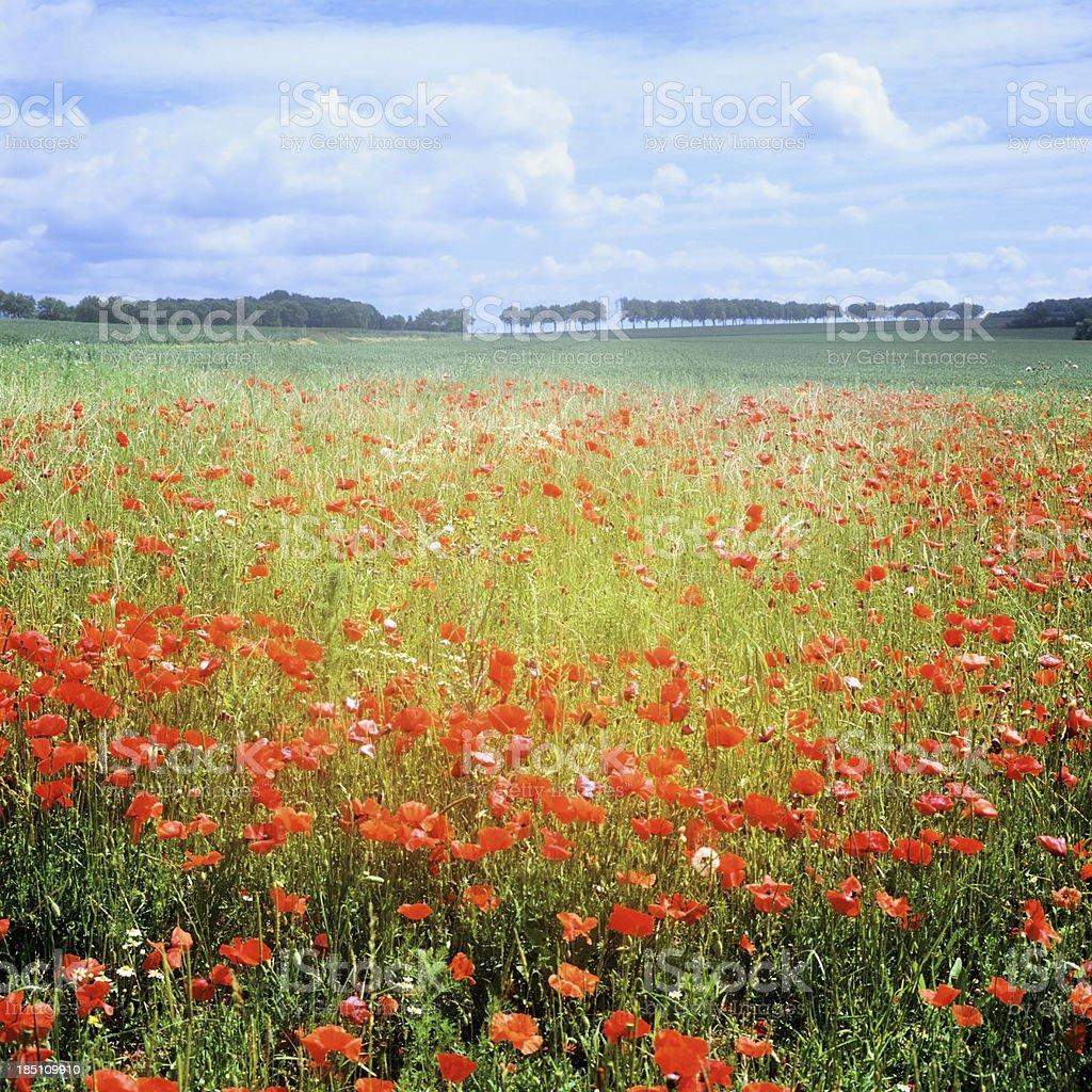 poppies stock photo
