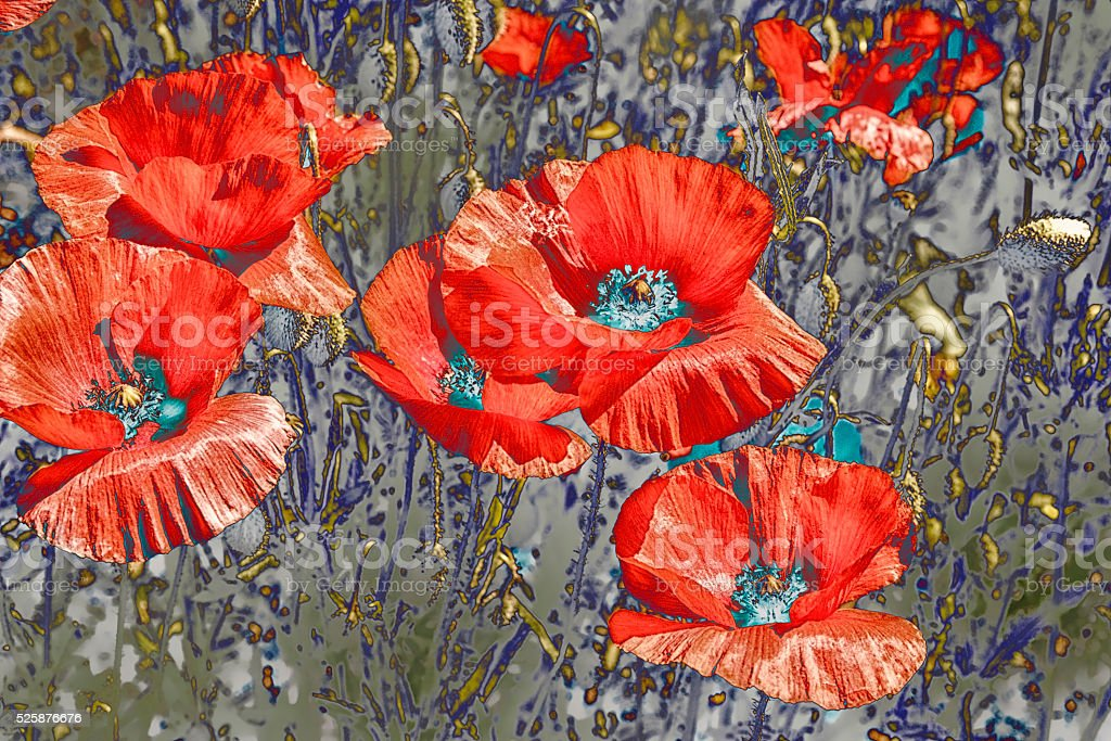 Coquelicots stock photo