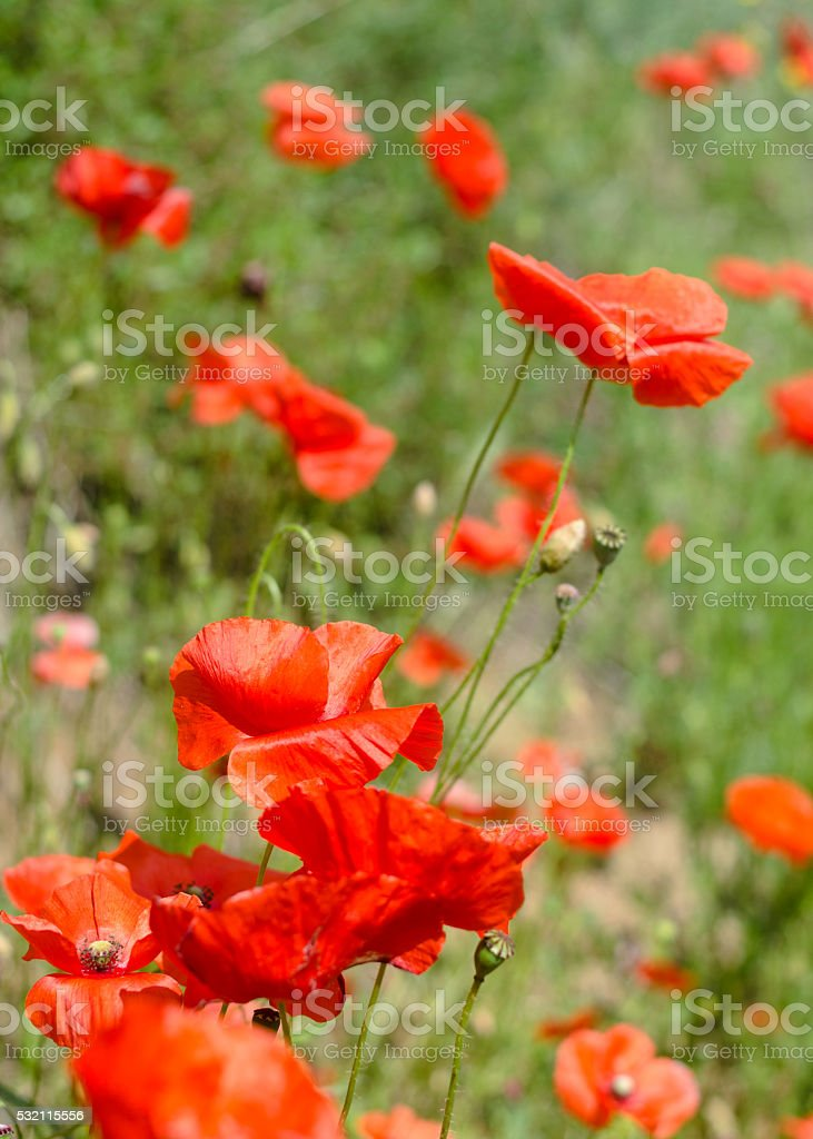 Poppies foto royalty-free