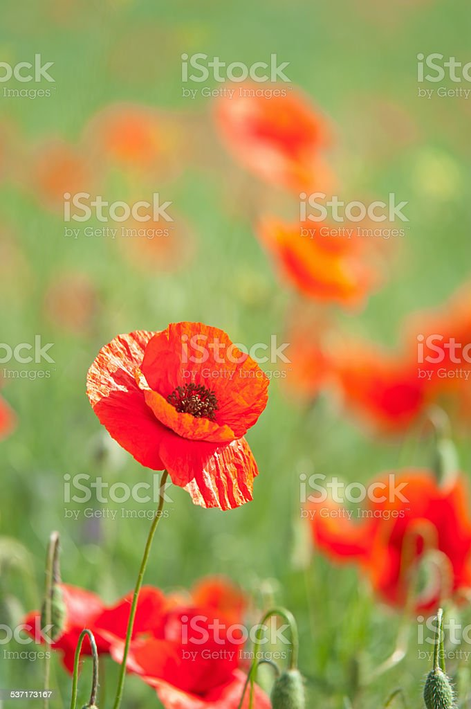 poppies Lizenzfreies stock-foto
