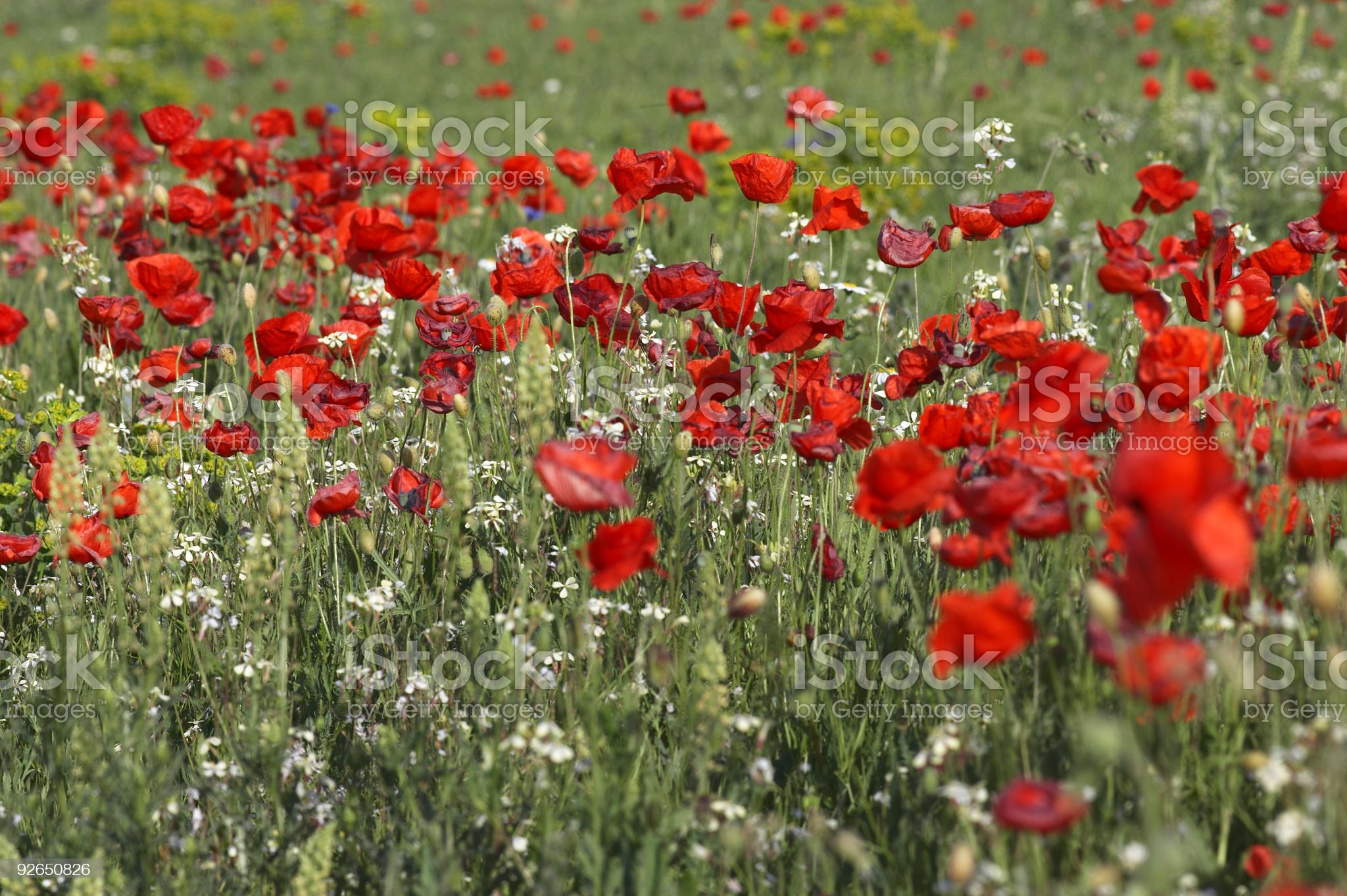 Poppies royalty-free stock photo