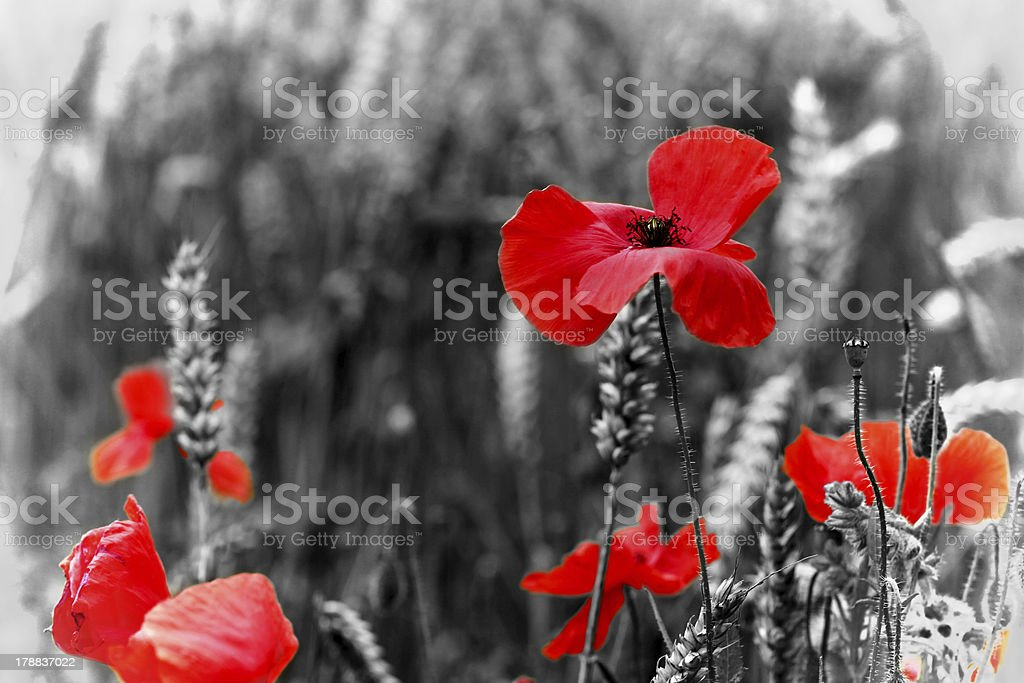 Poppies / Poppy for Remembrance Day stock photo