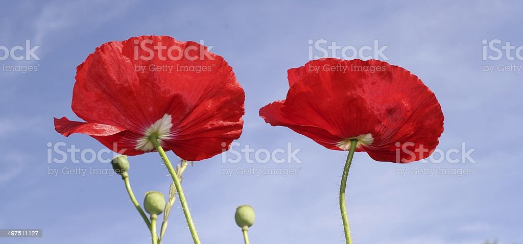 Poppies, red flower, summer stock photo