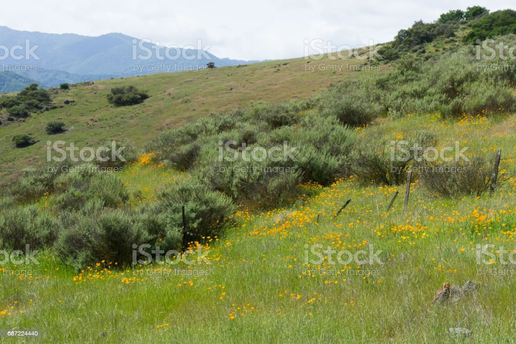 Poppies sprinkled around the brush and old wire fence. stock photo