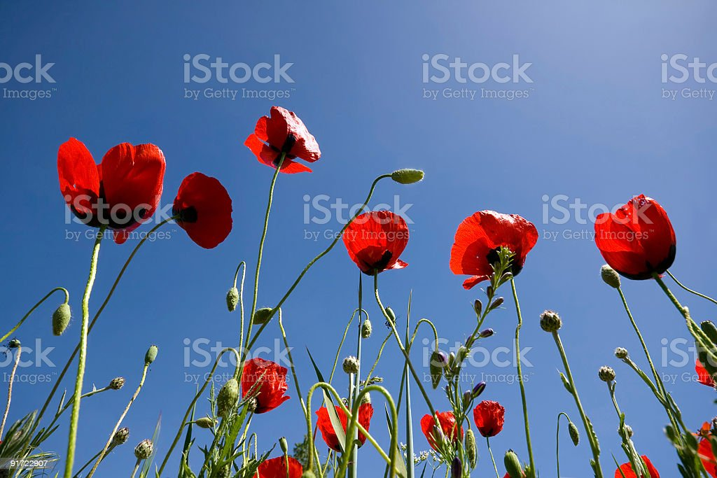 Poppies under the sun stock photo