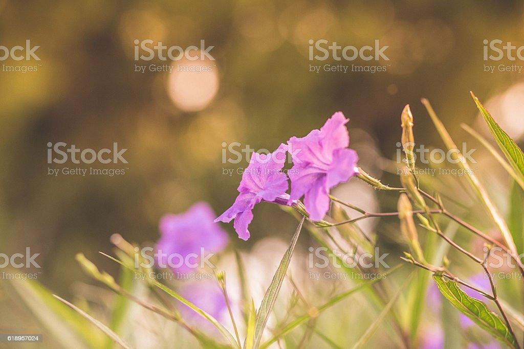 popping pod bush in garden stock photo