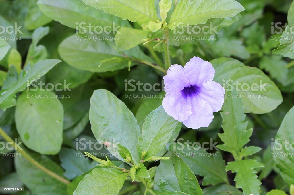 Popping pod  flower Purple bloom in the morning, Selective focus stock photo