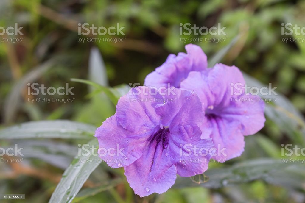 Popping pod Ruellia flower Purple bloom and Morning dew stock photo