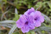 Popping pod Ruellia flower Purple bloom and Morning dew