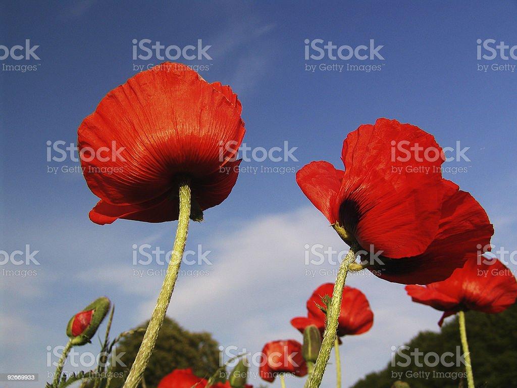 Poppy against blue sky royalty-free stock photo