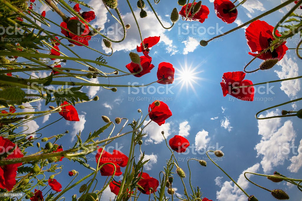 Poppy Against Blue Sky, sun and clouds stock photo