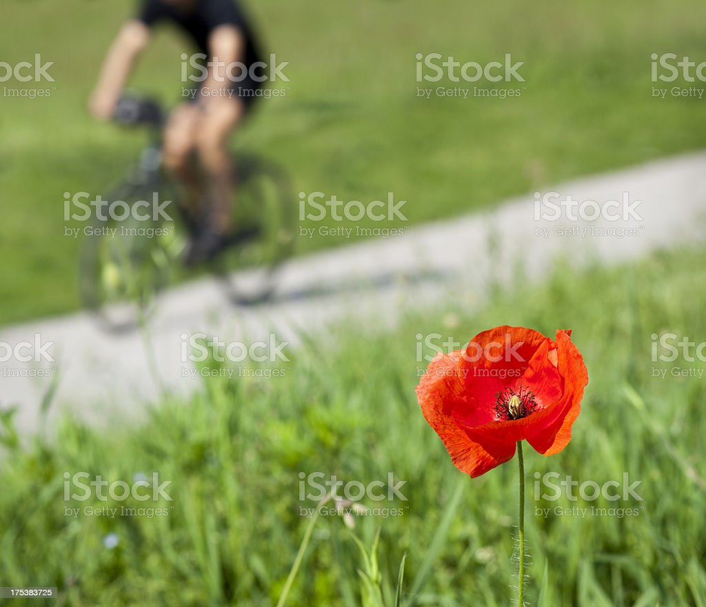 Poppy Against Grass And Cyclist Passing In The Background royalty-free stock photo