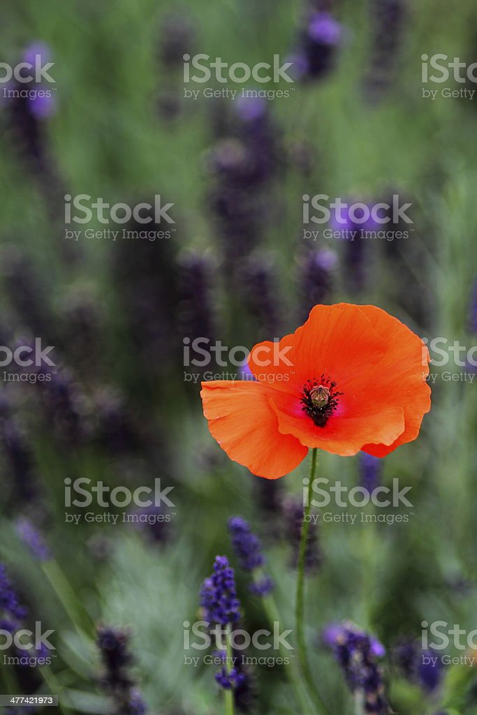 Poppy among Lavender royalty-free stock photo