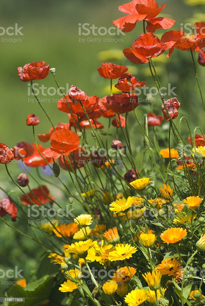 Poppy and Calendula flowers royalty-free stock photo