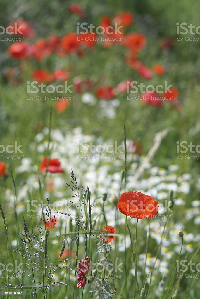 Poppy and camomille flowers stock photo