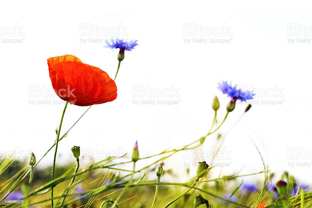Poppy and cornflowers royalty-free stock photo