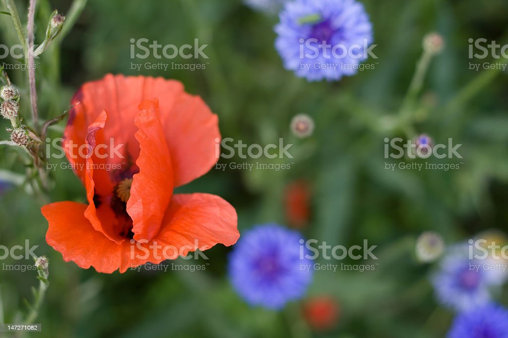 Poppy and cornflowers royalty-free stock photo