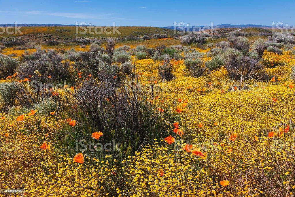 Мака и цветок мира. Стоковые фото Стоковая фотография