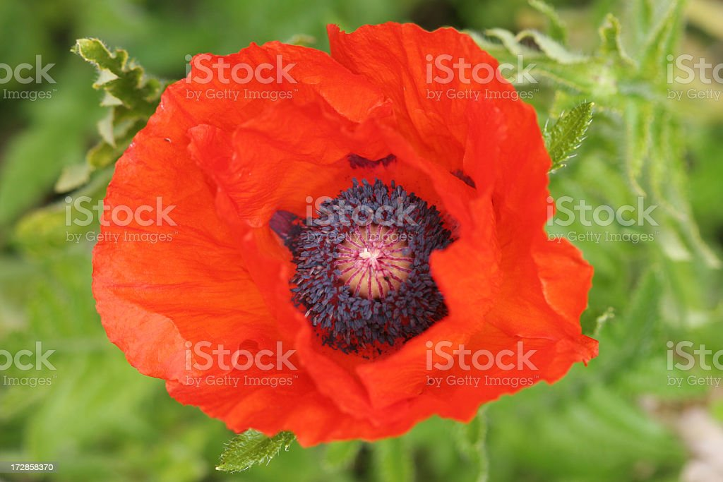 Poppy and seeds stock photo