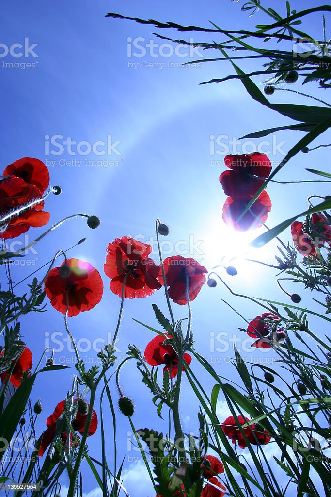 Poppy and sky royalty-free stock photo