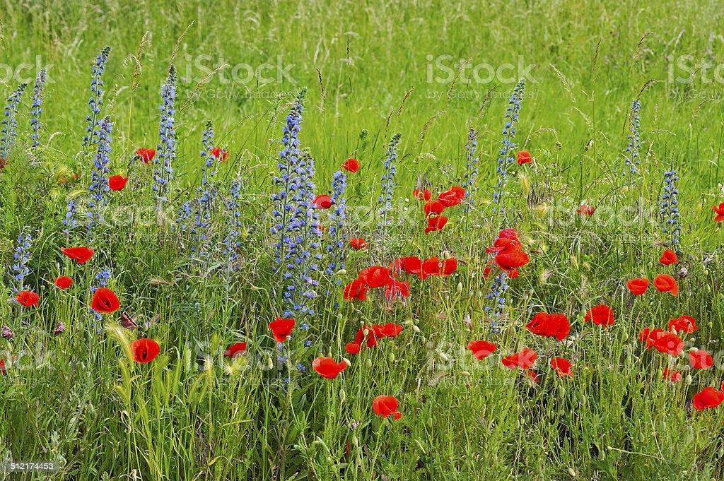 Poppy and snake head in the meadow stock photo