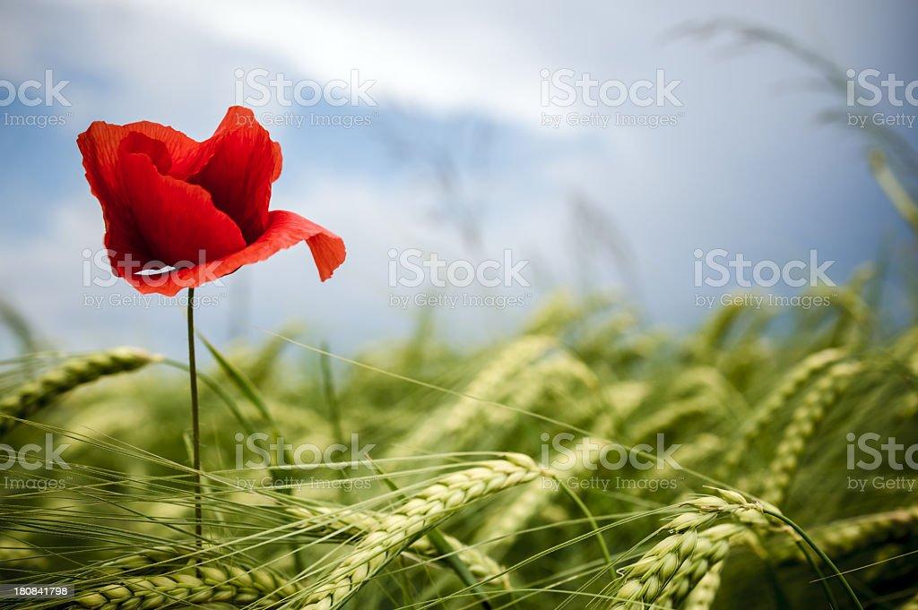 Poppy and wheat royalty-free stock photo