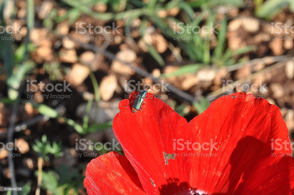 Poppy Anemone Flowers with Insects stock photo