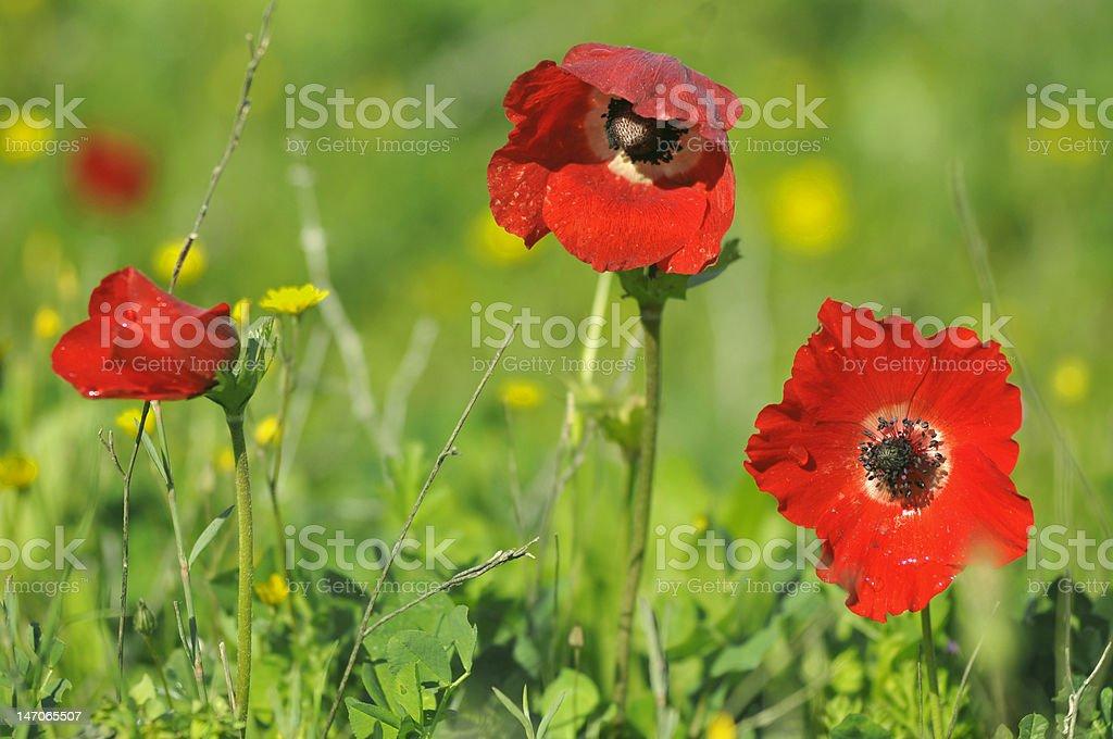 Poppy Anemone (coronaria) royalty-free stock photo