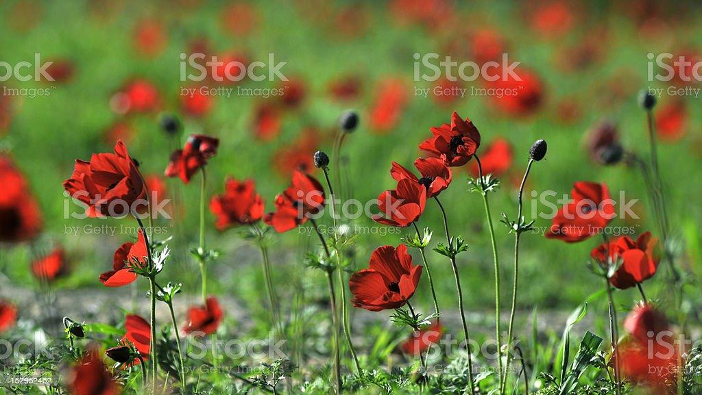Poppy Anemones royalty-free stock photo