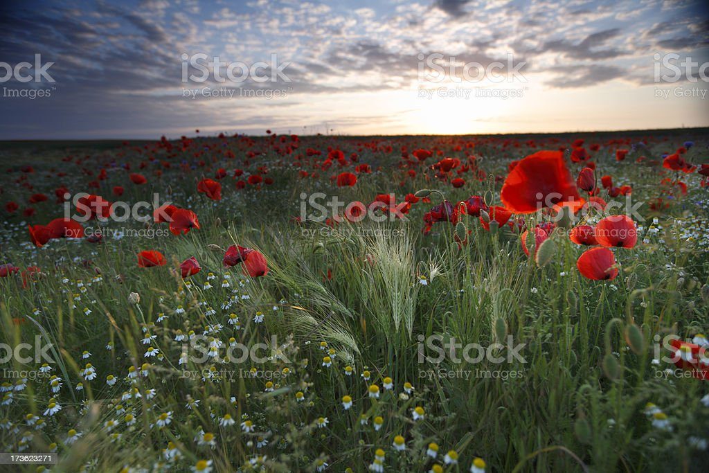 Poppy at Sunset (with some little vignetting) royalty-free stock photo