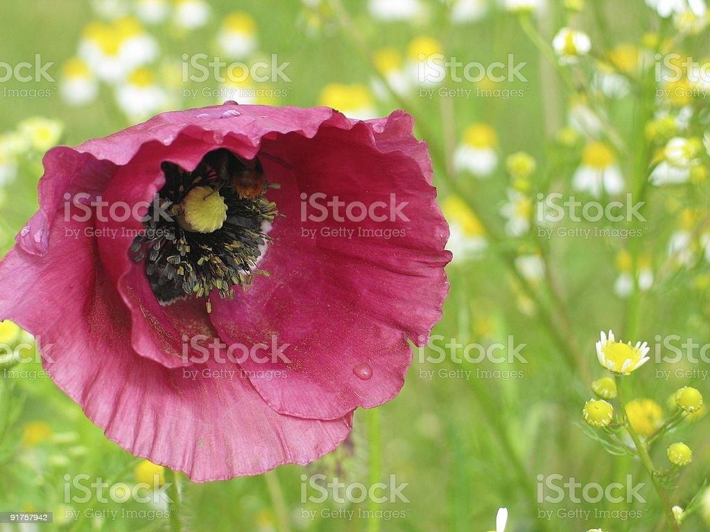 Poppy background royalty-free stock photo