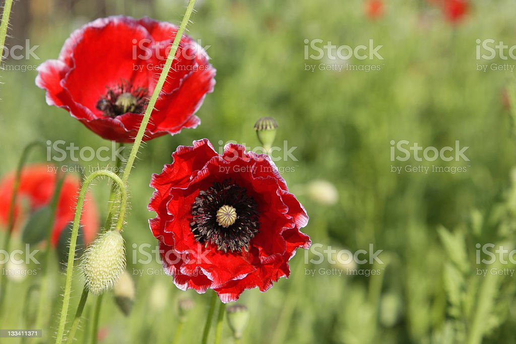 Poppy beauties royalty-free stock photo