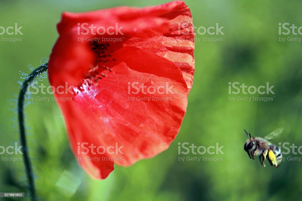 poppy & bee stock photo