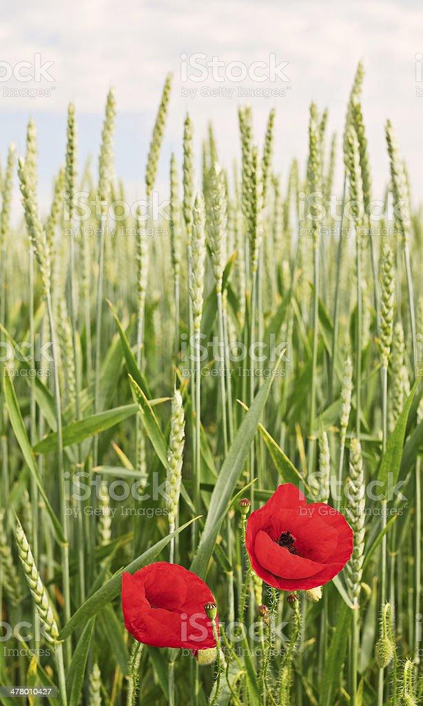 Poppy between wheat royalty-free stock photo