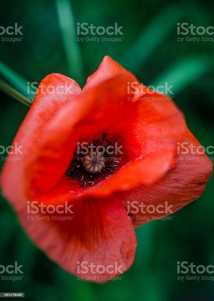 Flor de Papoula foto royalty-free