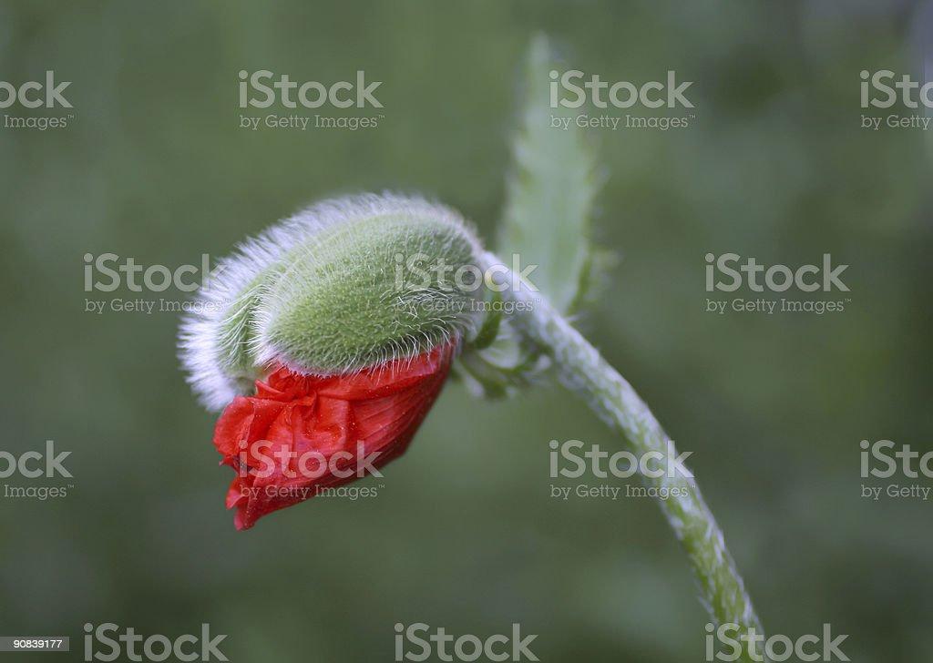 Poppy bud opening up royalty-free stock photo