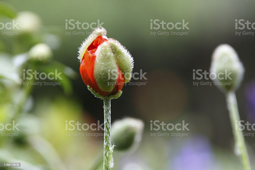 Poppy bud royalty-free stock photo