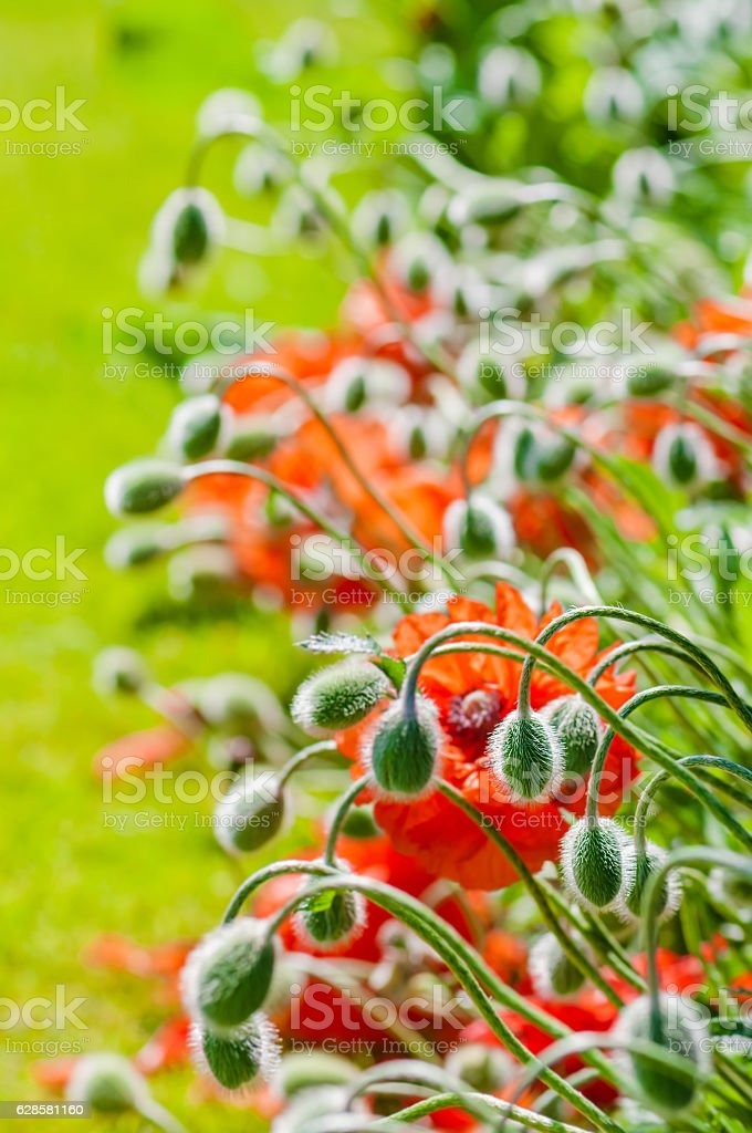 Poppy buds and flowers in bloom springtime vibrant colourful plant stock photo