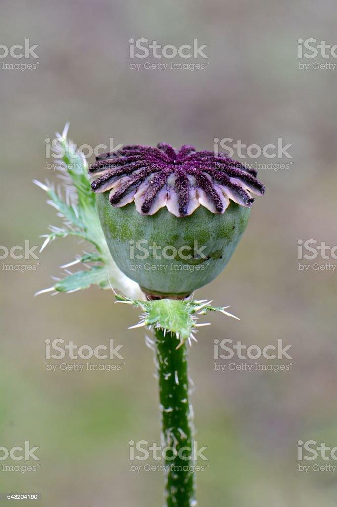 poppy capsule with seeds stock photo