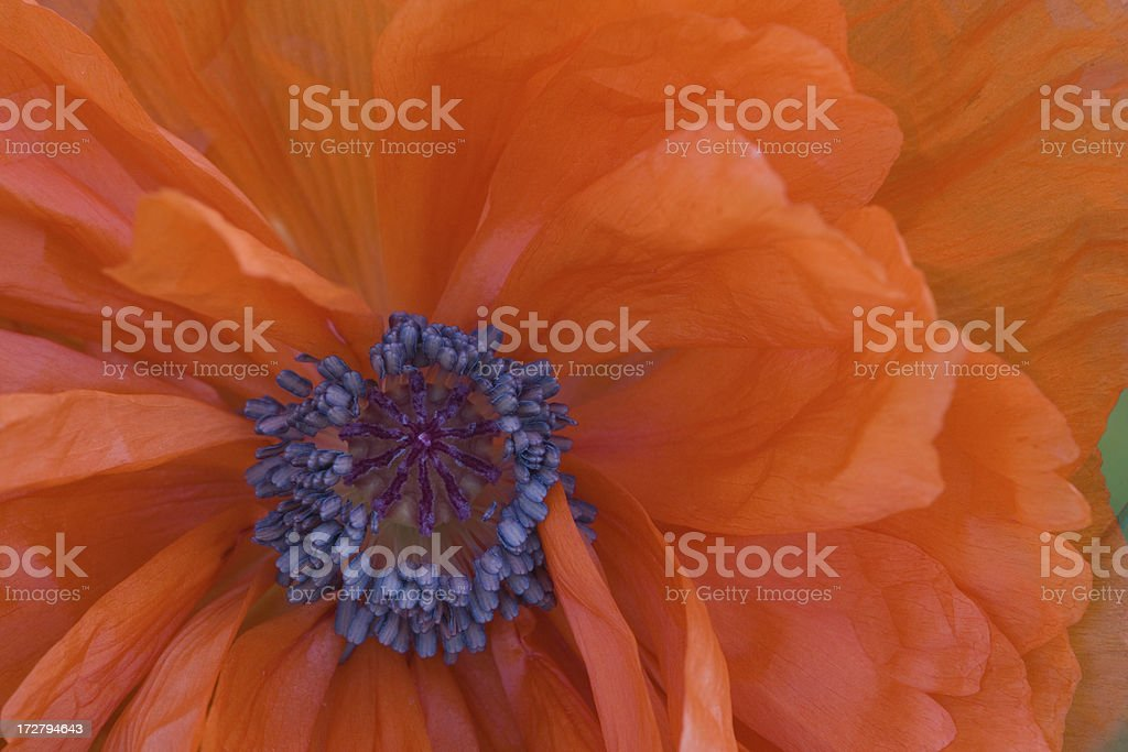 Poppy closeup royalty-free stock photo