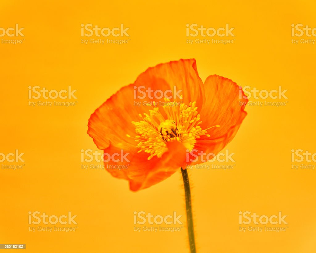poppy close-up stock photo