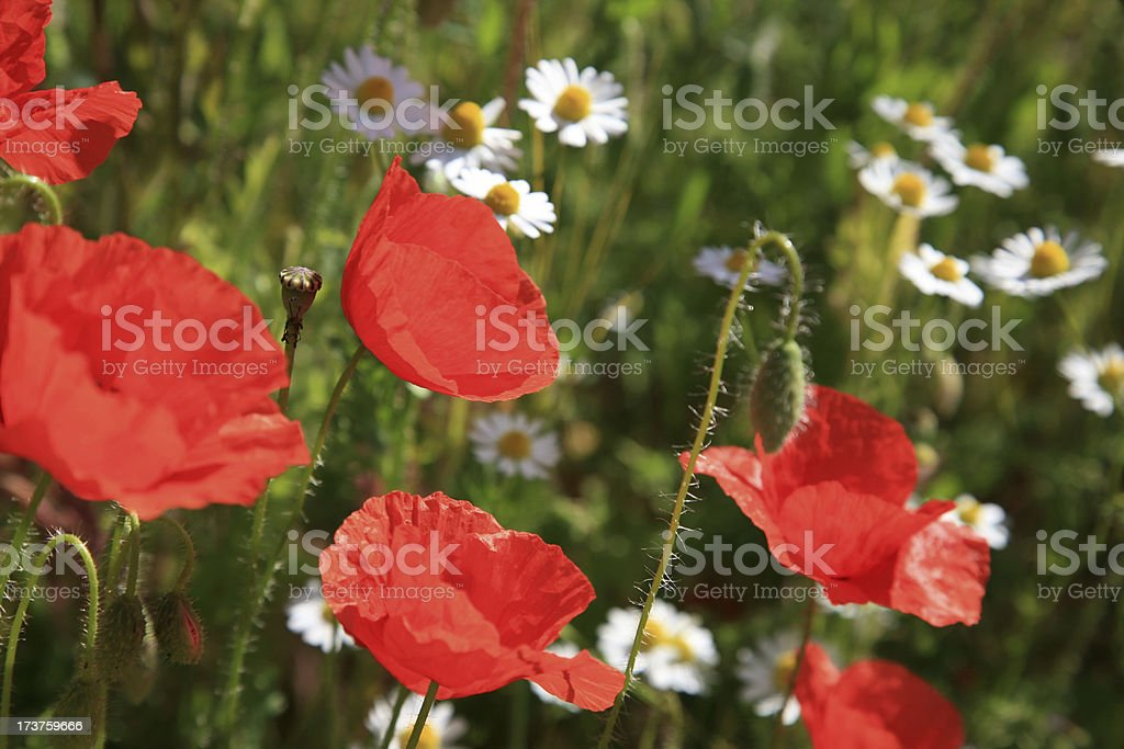 Poppy dreams royalty-free stock photo