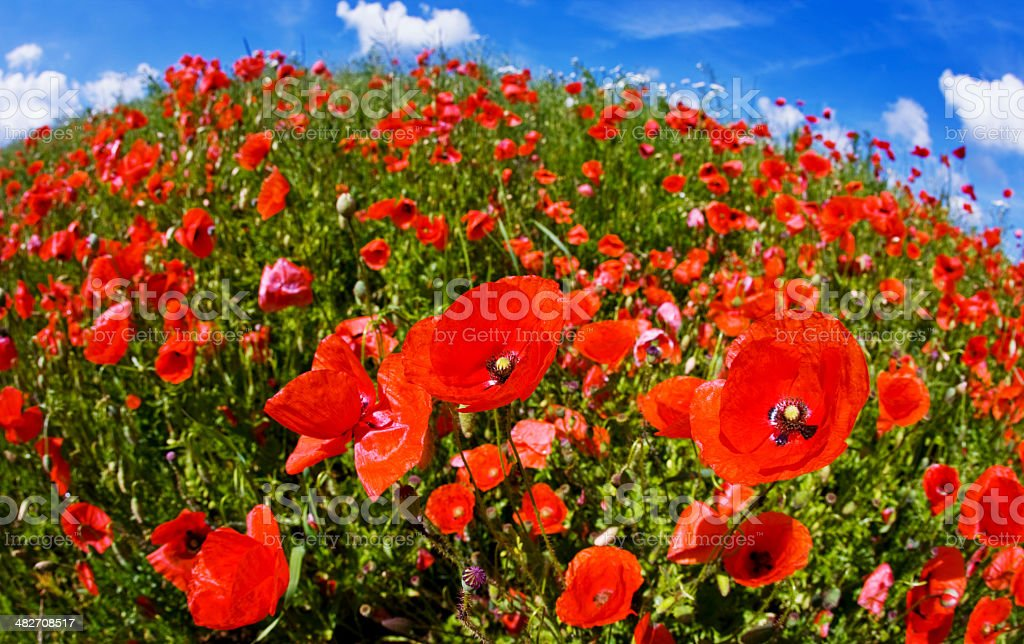 Poppy Field against  a beautiful sky royalty-free stock photo