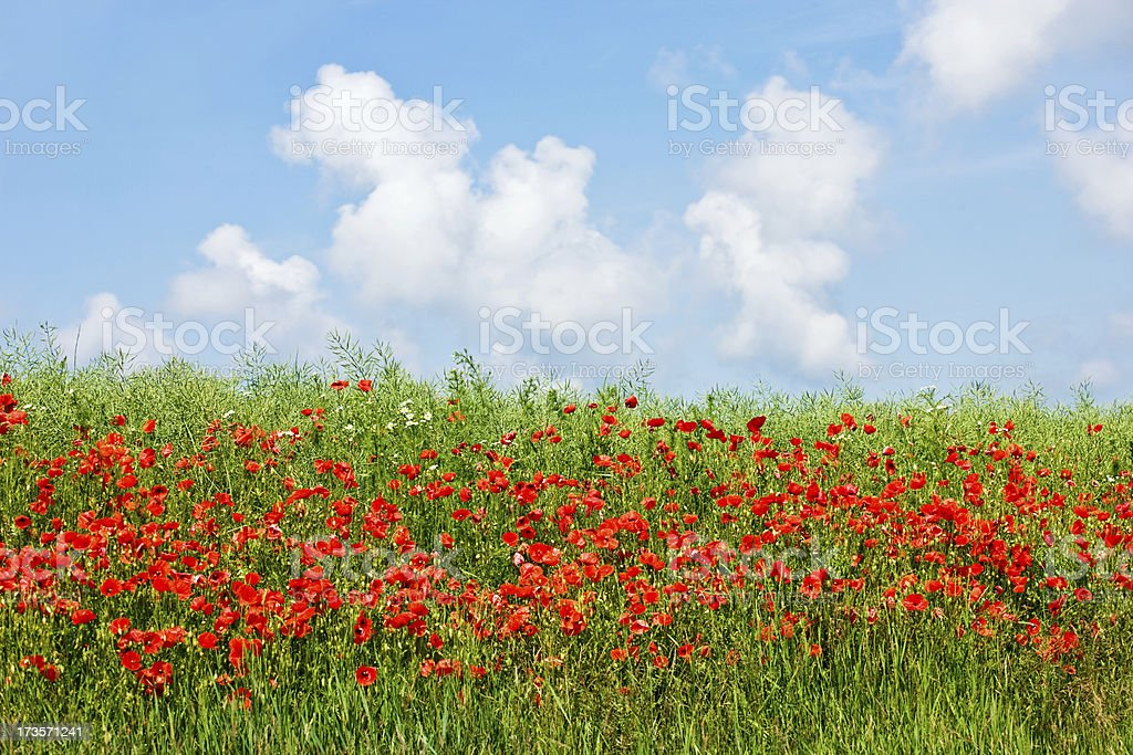 Poppy Field against blue sky royalty-free stock photo