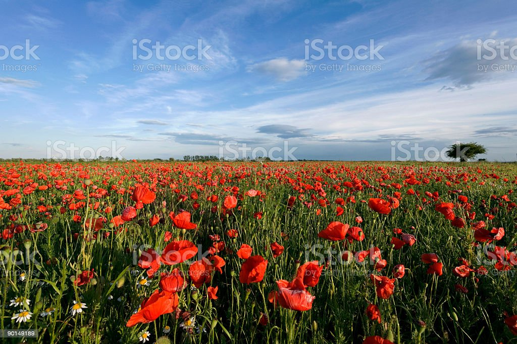 Poppy field and blue sky (XL) royalty-free stock photo