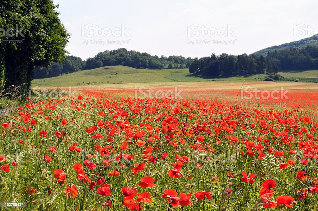 poppy field at Laach Lake - Mohnfeld Laacher See royalty-free stock photo