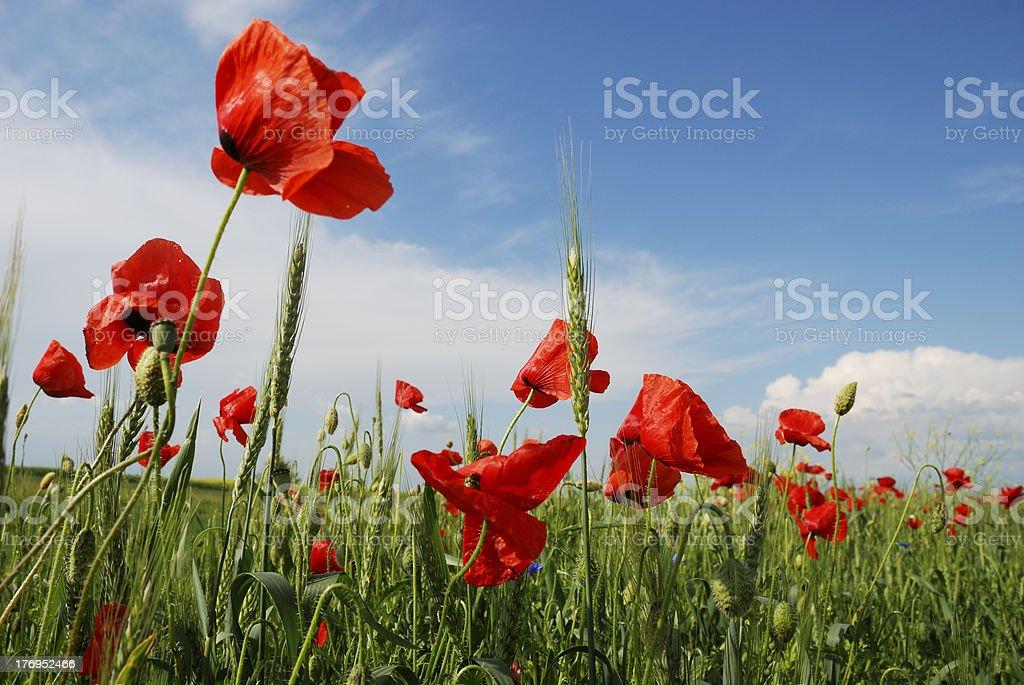 poppy field close up royalty-free stock photo