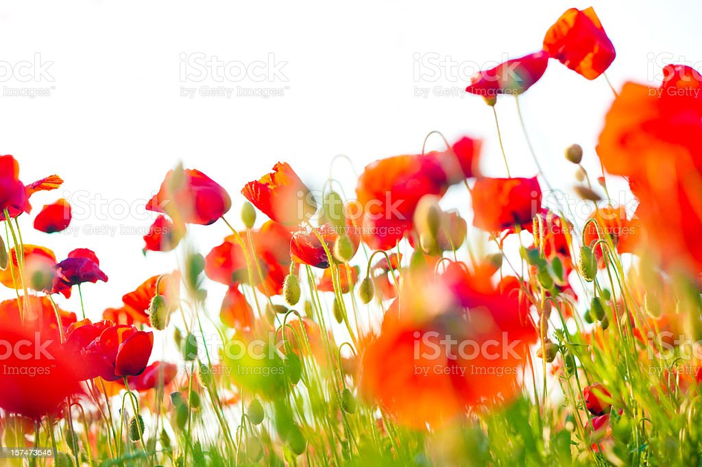 poppy field closeup stock photo