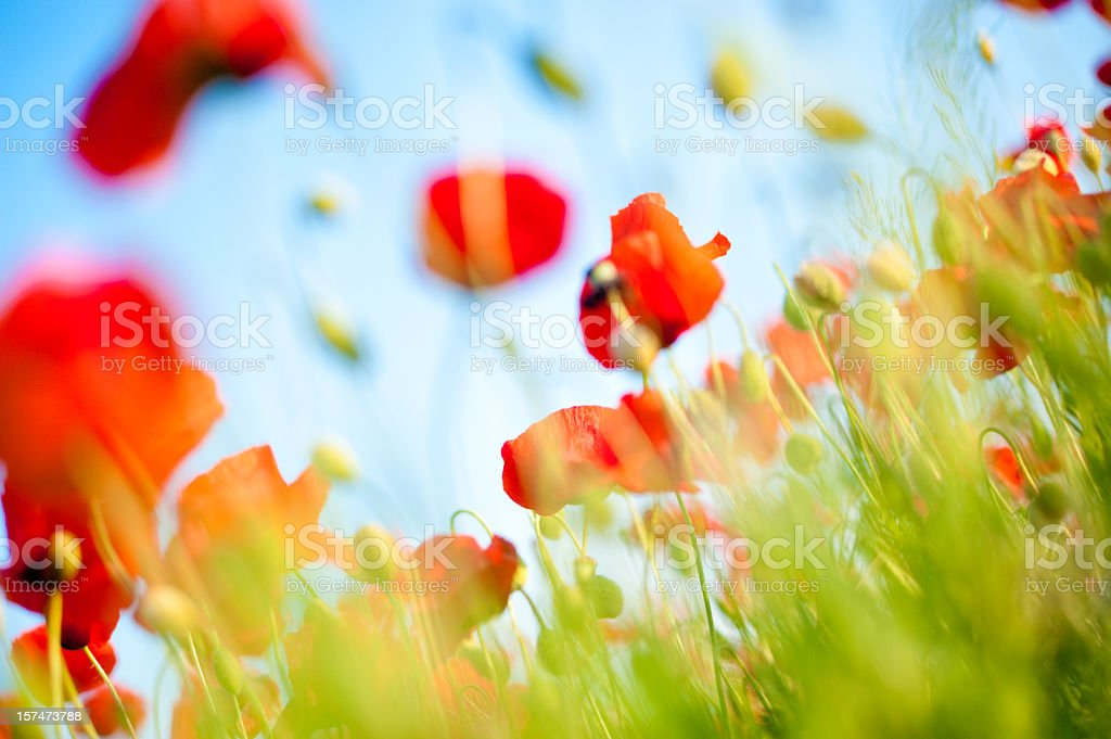 poppy field closeup royalty-free stock photo